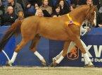 horse_tangelo_van_de_zuuthoeve-_3big